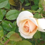 rosa-rampicante