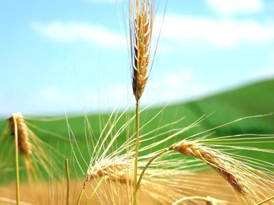 Il grano e la zizzania cercare la fede for Da dove proviene il grano della barilla